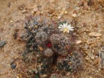 blomningkaktus Arkivfoto