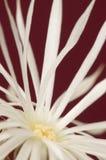 Blomningkaktus Royaltyfri Fotografi