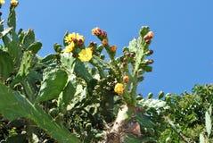 Blomningkaktus i Herceg Novi royaltyfria bilder