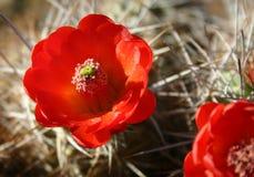 blomningkaktuscloseup Royaltyfria Foton