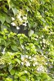 Blomningklättringvanlig hortensia Royaltyfri Foto