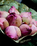 blomningknoppar samlar ihop den slågna in lotusblommapinken Royaltyfri Foto