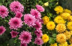 Blomningkrysantemum Fotografering för Bildbyråer