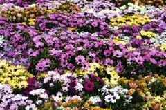 Blomningkrysantemum Royaltyfri Fotografi
