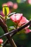 Blomningkvitten Arkivfoto