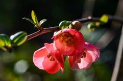 Blomningkvitten i solen Arkivbilder