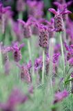 blomninglavendel Royaltyfria Foton