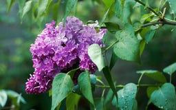 Blomninglila efter regn Arkivfoton