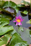 Blomninglilor Lotus Flower Royaltyfria Foton