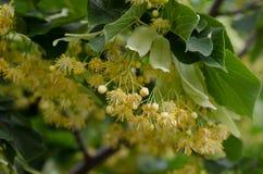 Blomninglind Royaltyfria Foton