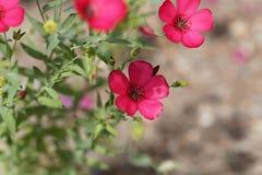 BlomninglinLinum grandiflorum royaltyfri fotografi