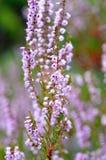 Blomningljungar Arkivbild
