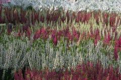 Blomningljungväxter Arkivfoto