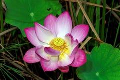 blomninglotusblomma royaltyfria bilder