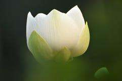 Blomninglotusblommablomma Fotografering för Bildbyråer