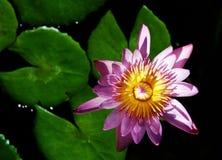 blomninglotusblommavatten Arkivfoton