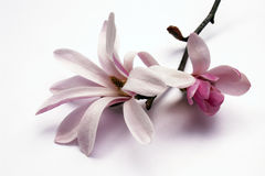 blomningmagnolia Arkivfoton