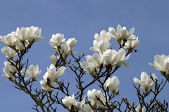 blomningmagnolia Arkivbilder