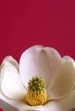 blomningmagnolia Royaltyfria Bilder