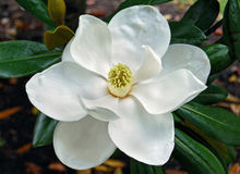 blomningmagnolia arkivfoto
