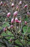Blomningmagnoliaträd som täckas tätt med härliga rosa blommor royaltyfri foto