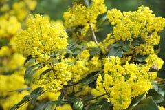 blomningmahonia Fotografering för Bildbyråer