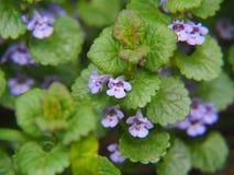 BlomningMala-murgröna - Glechomahederacea Royaltyfria Bilder