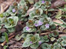 BlomningMala-murgröna - Glechomahederacea Royaltyfri Bild
