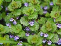 BlomningMala-murgröna - Glechomahederacea Royaltyfri Fotografi