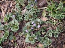 BlomningMala-murgröna - Glechomahederacea Arkivfoton