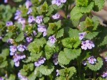 BlomningMala-murgröna - Glechomahederacea Royaltyfria Foton