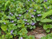 BlomningMala-murgröna - Glechomahederacea Fotografering för Bildbyråer