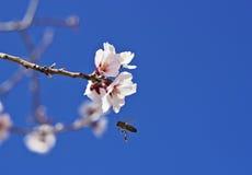 Blomningmandel och ett bi Arkivbild