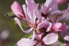 Blomningmandelträd Arkivfoto