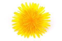 blomningmaskros Fotografering för Bildbyråer