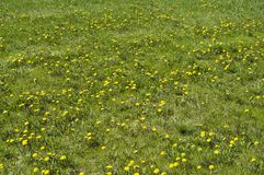 Blomningmaskros Royaltyfria Bilder