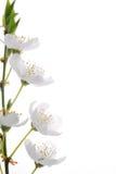 blomningmirabelle Arkivfoton
