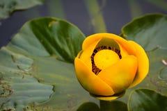 Blomningnäckros Arkivfoto