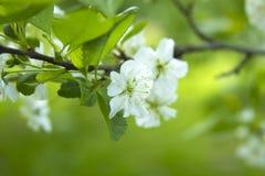 Blomningnärbild för körsbärsrött träd Arkivbilder