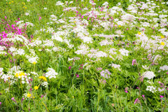 Blomningängen med Achillea och annan blommar Arkivbild