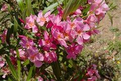 Blomningoleander Arkivbild