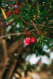 Blomningoleanderträd i Montenegro, Adriatiskt havet och Royaltyfria Bilder