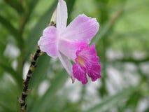 Blomningorkidé i skuggor av rosa färger Arkivbilder