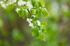 Blomningpäron som fylls med snö Vår Fotografering för Bildbyråer