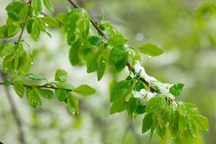 Blomningpäron som fylls med snö Vår royaltyfria foton