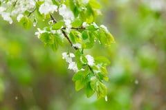 Blomningpäron som fylls med snö Vår Arkivfoton