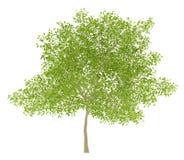 Blomningpäronträd som isoleras på vit Royaltyfria Foton