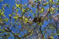 Blomningpaulownia till en blå himmel royaltyfri foto