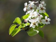 blomningpear Arkivfoto