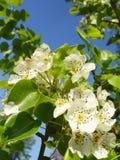 blomningpear Arkivfoton
